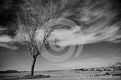 Pustynny drzewo