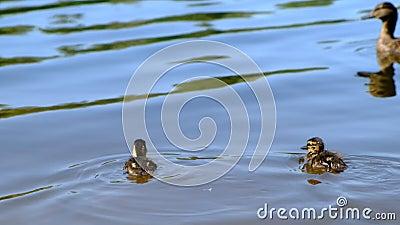 Puszysty kaczątko nur minujący przyroda Lasowy jezioro, lato sezon zbiory wideo