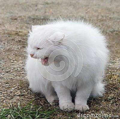 Puszysty kota biel