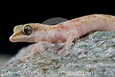 Pygmy gecko