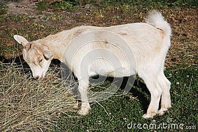 Pygmy goat feeding