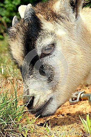 Pygmy Goat Sniffing