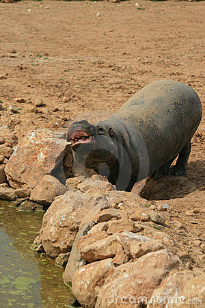 Free Pygmy Hippo Stock Images - 4573614