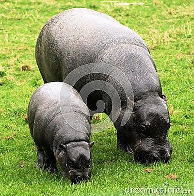 Free Pygmy Hippopotamus 10 Royalty Free Stock Images - 10252409