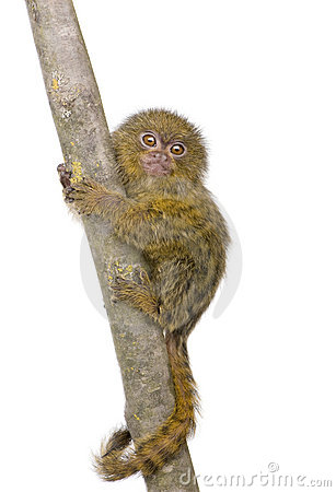 Pygmy Marmoset (5 weeks)