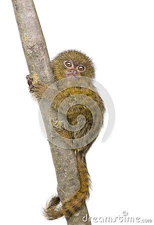 Pygmy Marmoset (5 weeks)