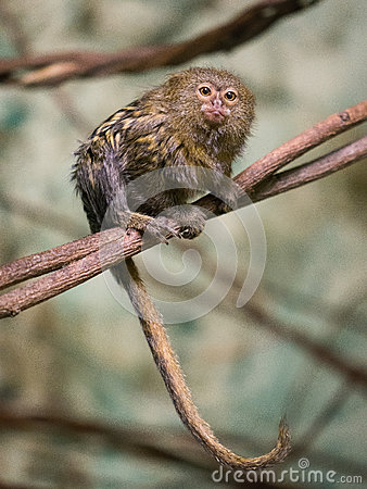 Free Pygmy Marmoset Cebuella Pygmaea Stock Photos - 93299343