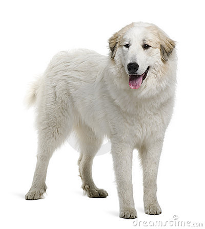 Free Pyrenean Mountain Dog Or Great Pyrenees Stock Images - 12908524