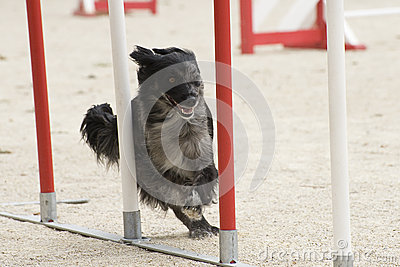 Pyrenean sheepdog in agility