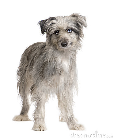 More similar stock images of ` Pyrenean Shepherd (1 year) `