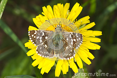 Pyrgus malvae Butterfly (Grizzled skipper)