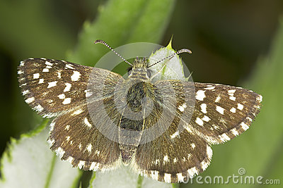 Pyrgus malvae / Grizzled Skipper butterfly
