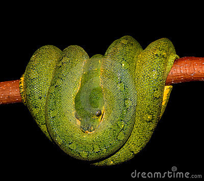 Stock Photo: Python Green tree snake. Image: 7562280