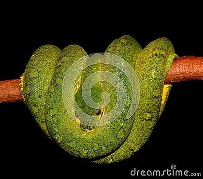 Python Green tree snake