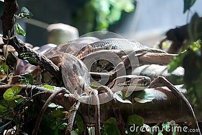 Pythonschlange
