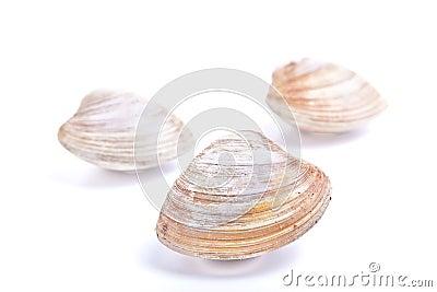 Quahaug Clam