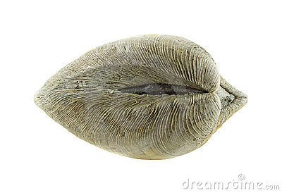Quahog clam muscle