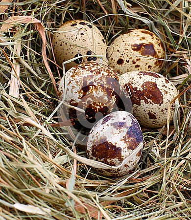 Quail dappled egg in the straw, close-up