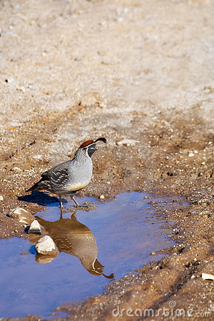 A Quail in the Desert, and its Reflection