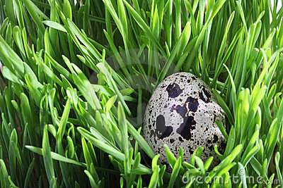 Quail egg in green grass