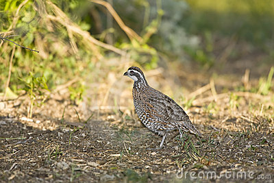 A Quail foraging in a field