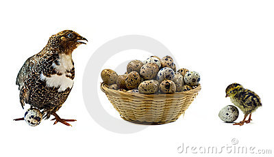 Quails and wood basket filled with eggs