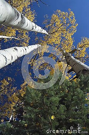 Free Quaking Aspens And Pine Tree, Flagstaff, Arizona Royalty Free Stock Photos - 564788