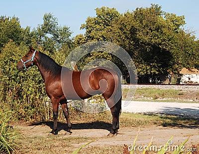 Quarter Horse Chestnut
