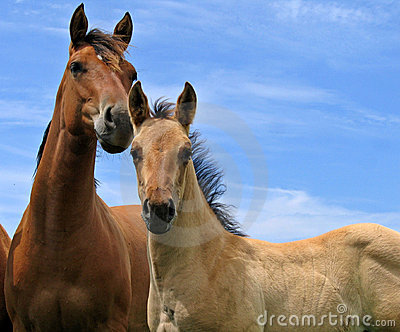 Quarter horse filly and a foal