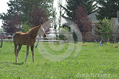 A Quarter Horse Filly Editorial Stock Photo
