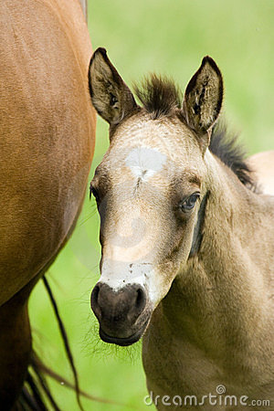 Free Quarter Horse Foal Stock Photography - 4546682