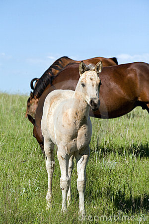 Free Quarter Horse Foal Stock Photography - 5565932