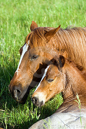 Free Quarter-horse Mare And Foal Royalty Free Stock Photo - 3989185