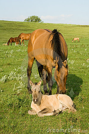 Free Quarter Horse Mare And Foal Royalty Free Stock Images - 4545999