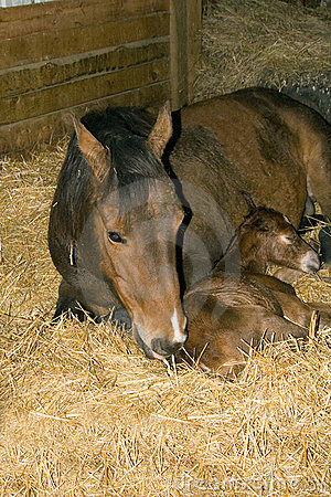 Quarter horse mare and foal