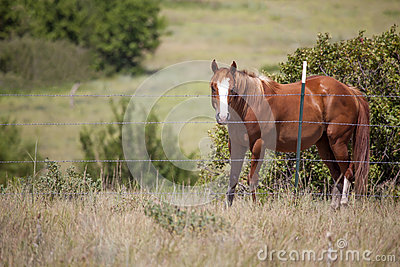 Quarter horse in pasture