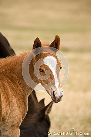 Quarter horse sorrel foal