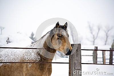 Quarter horse stud in winter