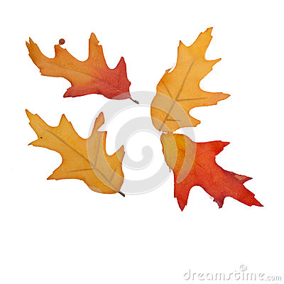 Quatro folhas da queda isoladas