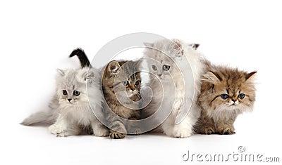 Quattro gattini persiani piccoli fotografie stock for I gattini piccoli