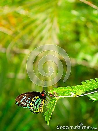Free Queen Alexandra S Birdwing Stock Photography - 8184282