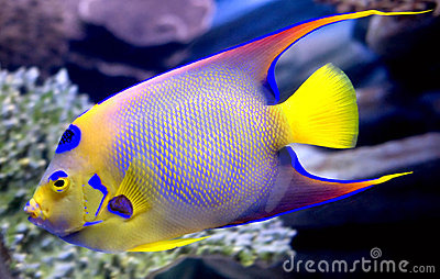 Queen angelfish 2