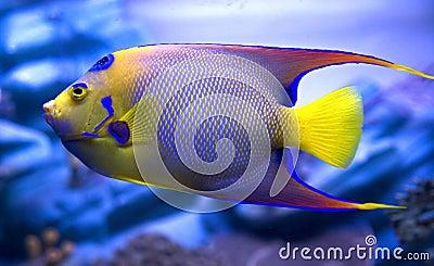 Queen angelfish 3