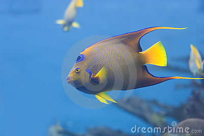 Queen Angelfish swimming