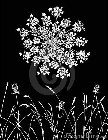 Free Queen Anne S Lace Stock Photos - 15105983