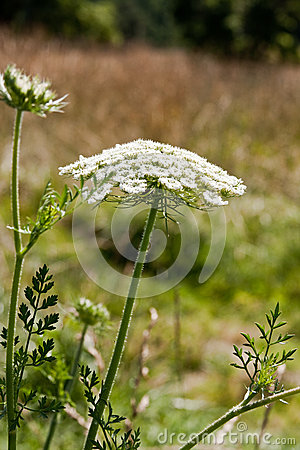 Free Queen Anne S Lace Stock Photography - 25307932