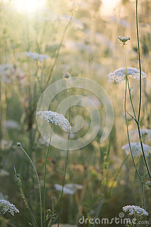 Free Queen Anne S Lace Stock Image - 49815521