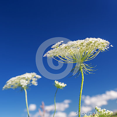 Free Queen Anne S Lace Stock Image - 68754171