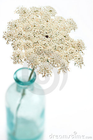 Free Queen Anne S Lace Flower Royalty Free Stock Image - 2703146