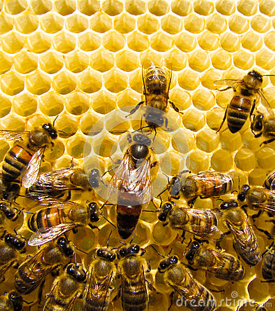 Free Queen Bee Royalty Free Stock Images - 28848699